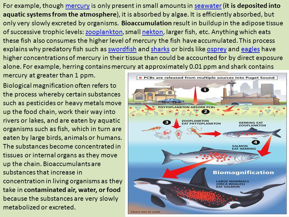 For example, though mercury is only present in small amounts in seawater (it is deposited into aquatic systems from the atmosphere), it is absorbed by algae. It is efficiently absorbed, but only very slowly excreted by organisms. Bioaccumulation result in buildup in the adipose tissue of successive trophic levels: zooplankton, small nekton, larger fish, etc. Anything which eats these fish also consumes the higher level of mercury the fish have accumulated. This process explains why predatory fish such as swordfish and sharks or birds like osprey and eagles have higher concentrations of mercury in their tissue than could be accounted for by direct exposure alone. For example, herring contains mercury at approximately 0.01 ppm and shark contains mercury at greater than 1 ppm.