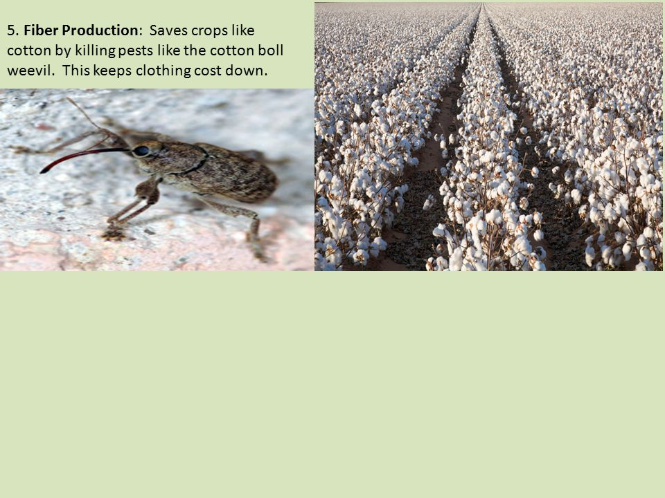 5. Fiber Production: Saves crops like cotton by killing pests like the cotton boll weevil.