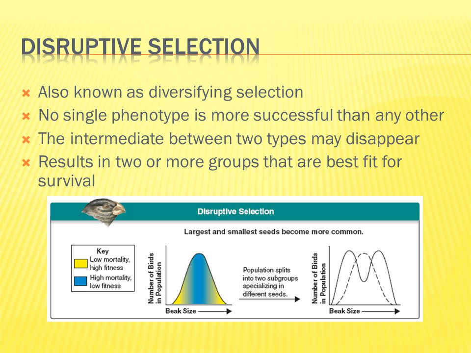 Disruptive selection Also known as diversifying selection