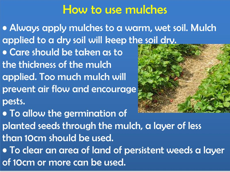How to use mulches • Always apply mulches to a warm, wet soil. Mulch applied to a dry soil will keep the soil dry.