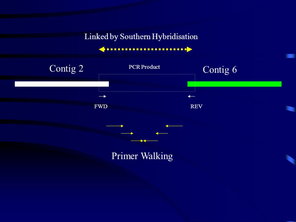 Contig 2 Contig 6 Primer Walking Linked by Southern Hybridisation