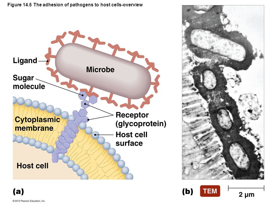 Figure 14.5 The adhesion of pathogens to host cells-overview
