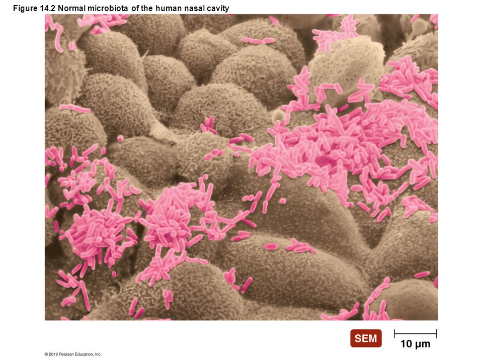 Figure 14.2 Normal microbiota of the human nasal cavity