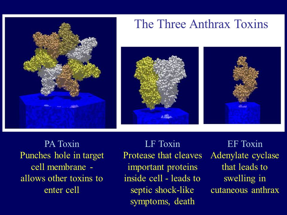 Adenylate cyclase that leads to swelling in cutaneous anthrax
