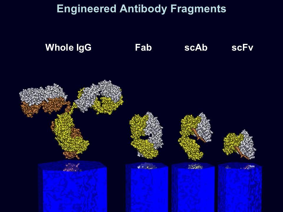 Engineered Antibody Fragments