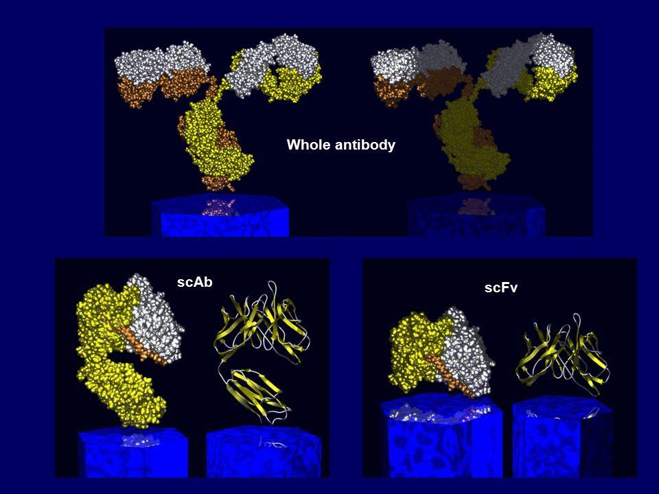 Whole antibody scAb scFv
