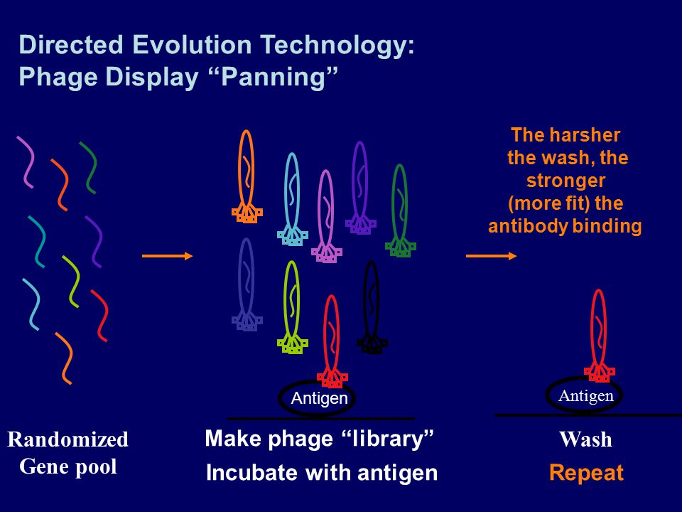 (more fit) the antibody binding