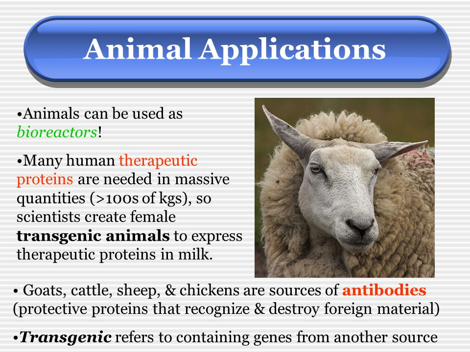 Animal Applications Animals can be used as bioreactors!