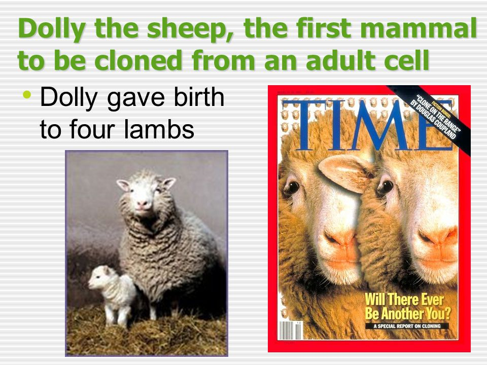 Dolly the sheep, the first mammal to be cloned from an adult cell