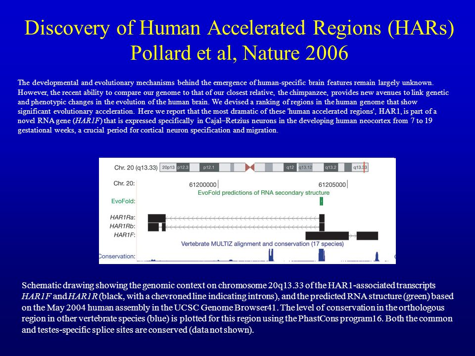 Discovery of Human Accelerated Regions (HARs) Pollard et al, Nature 2006