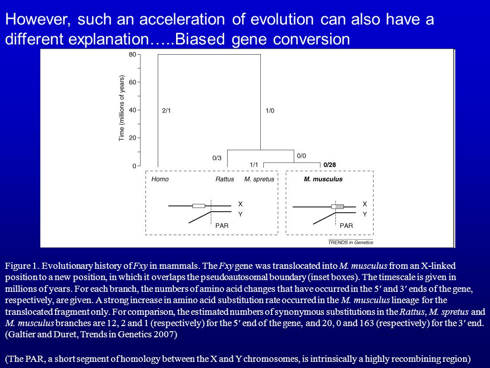However, such an acceleration of evolution can also have a different explanation…..Biased gene conversion