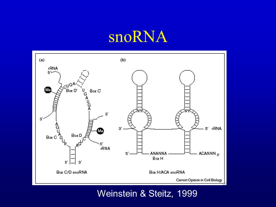 snoRNA Weinstein & Steitz, 1999