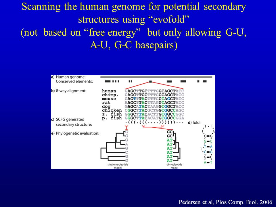 Scanning the human genome for potential secondary structures using evofold (not based on free energy but only allowing G-U, A-U, G-C basepairs)