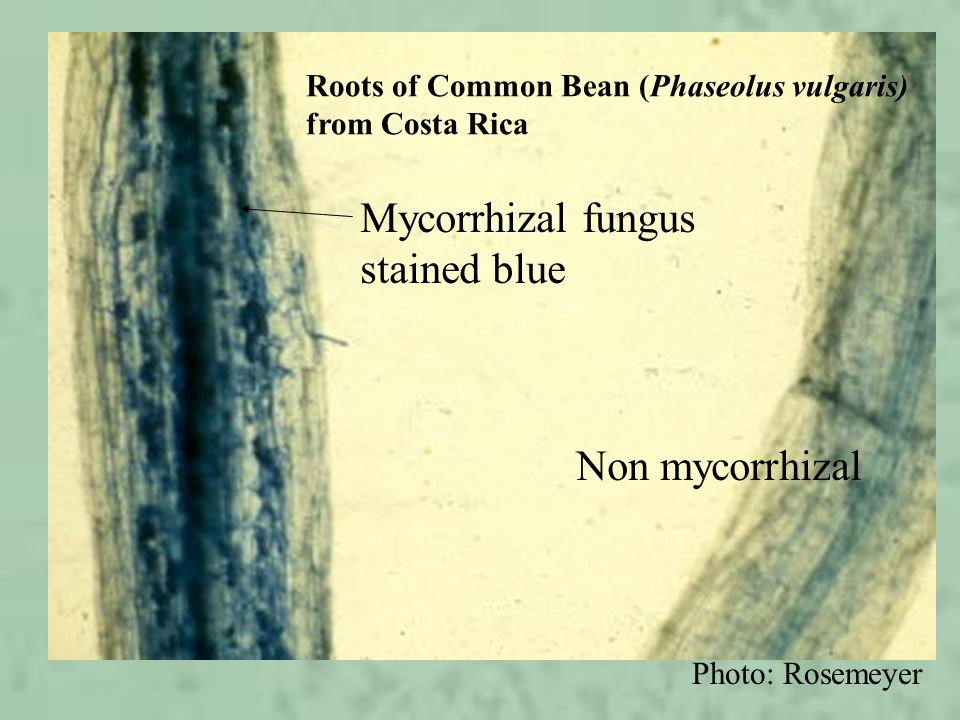 Mycorrhizal fungus stained blue Non mycorrhizal