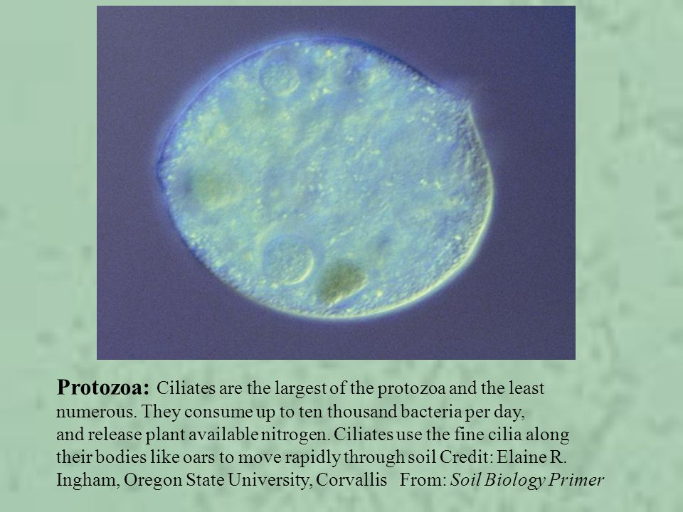 Protozoa: Ciliates are the largest of the protozoa and the least