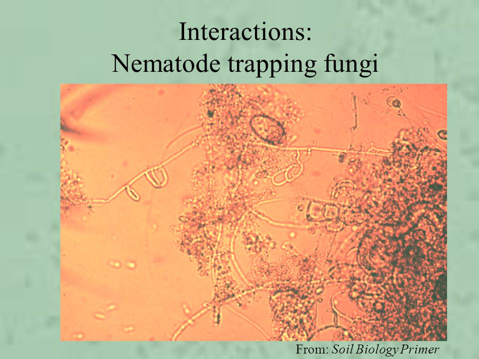 Interactions: Nematode trapping fungi