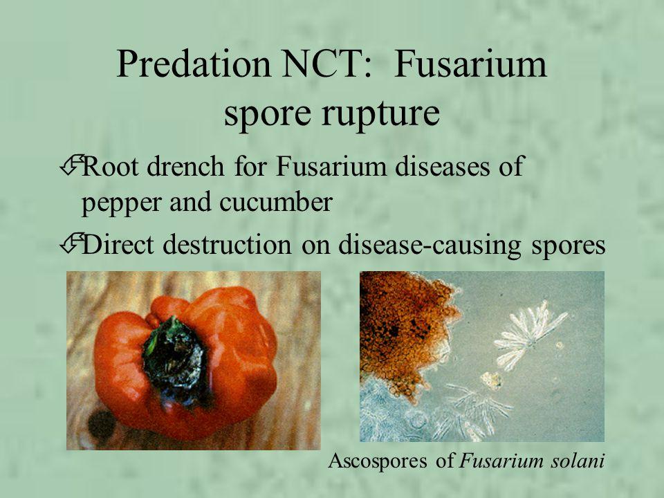 Predation NCT: Fusarium spore rupture