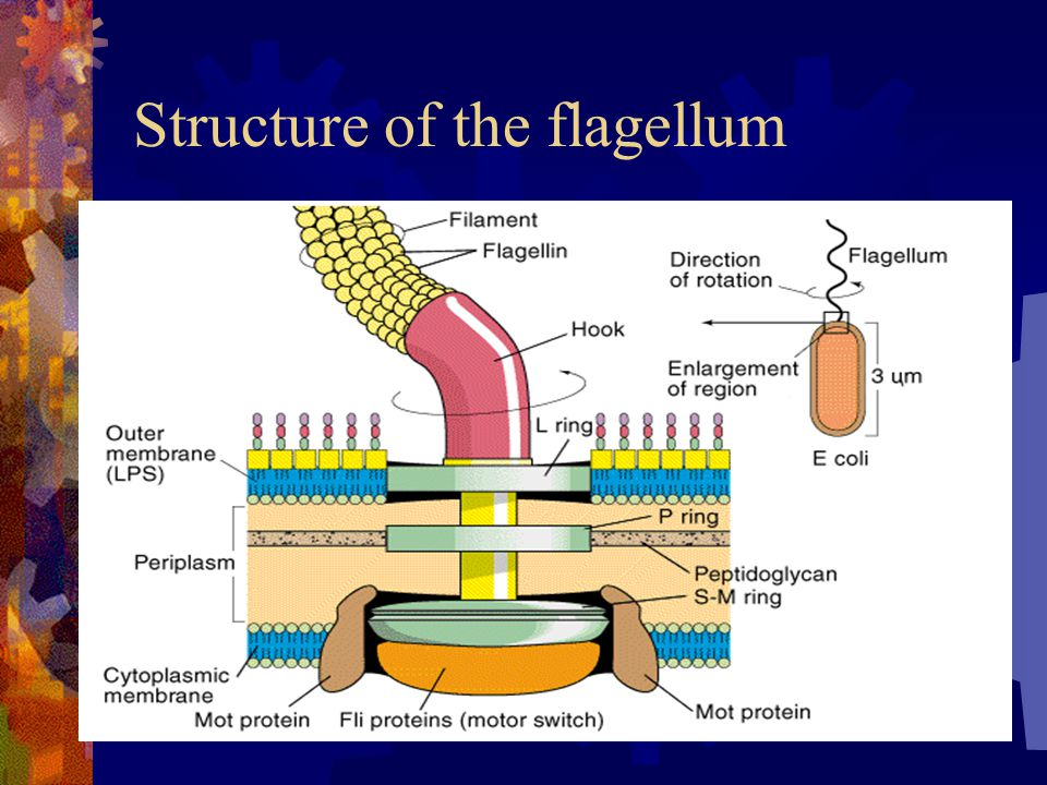 Structure of the flagellum