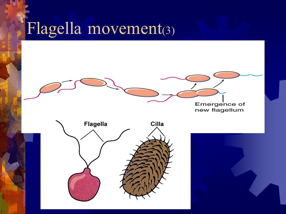 Flagella movement(3)