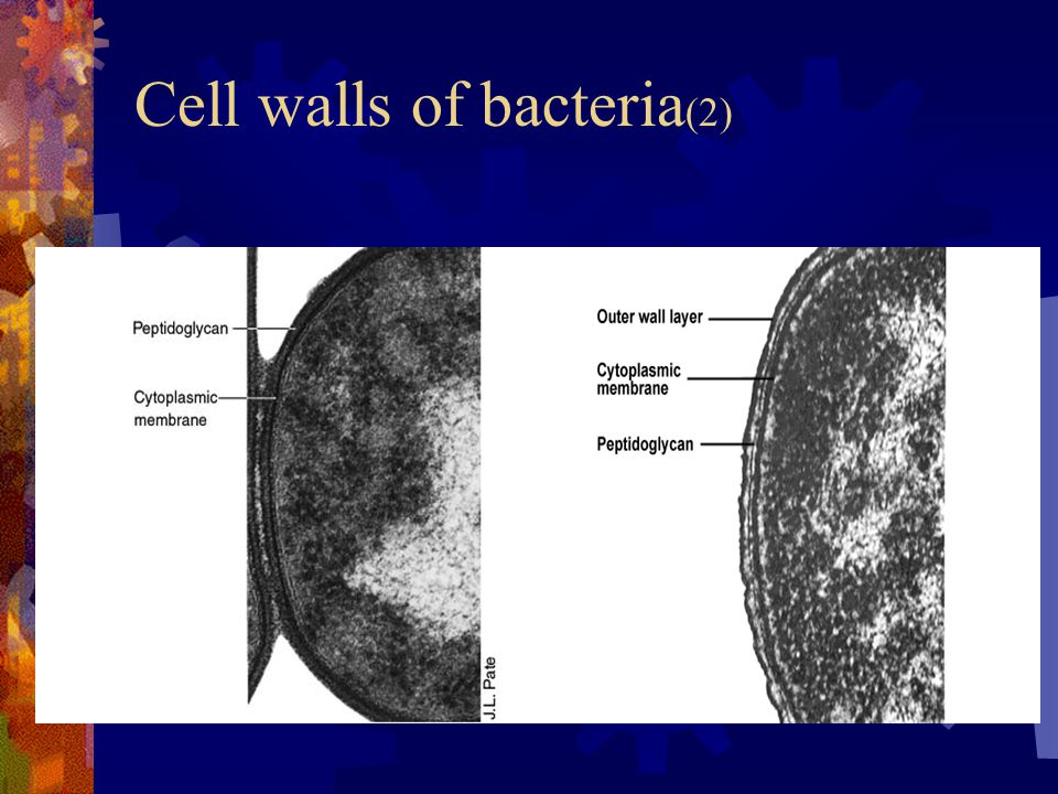 Cell walls of bacteria(2)