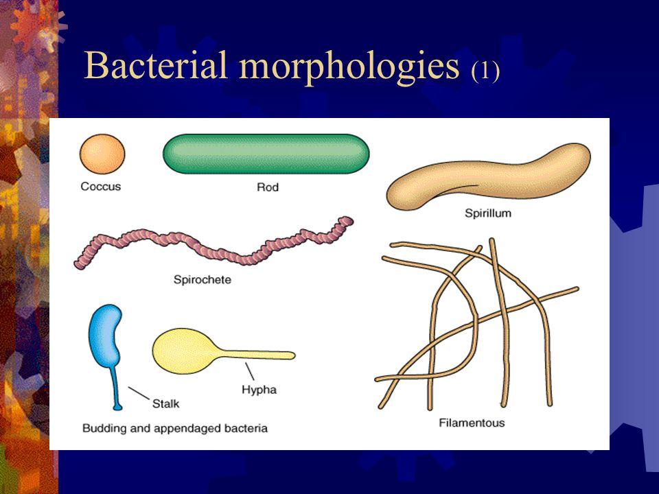 Bacterial morphologies (1)
