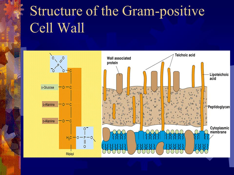 Structure of the Gram-positive Cell Wall