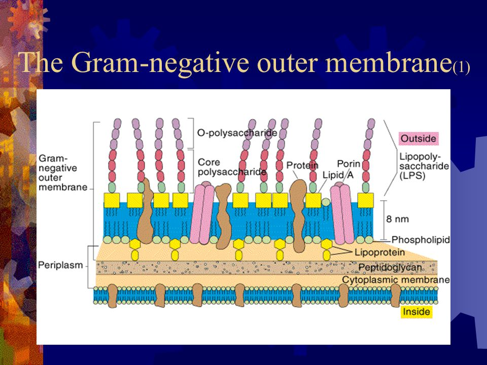 The Gram-negative outer membrane(1)