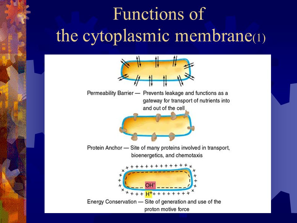 Functions of the cytoplasmic membrane(1)