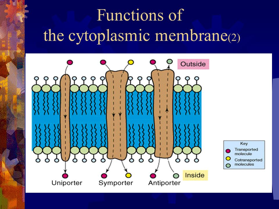 Functions of the cytoplasmic membrane(2)