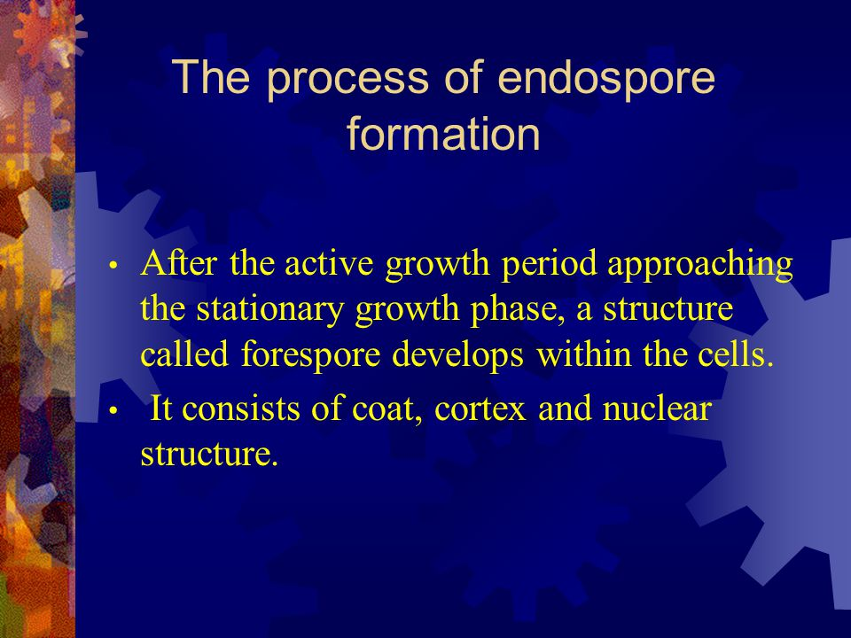 The process of endospore formation
