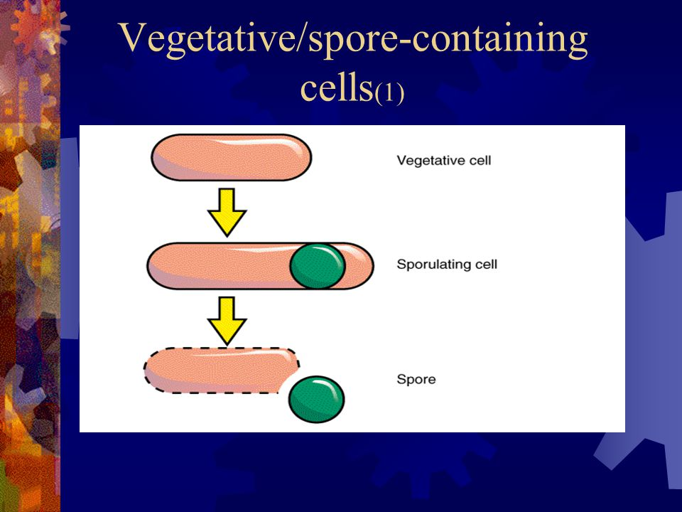Vegetative/spore-containing cells(1)