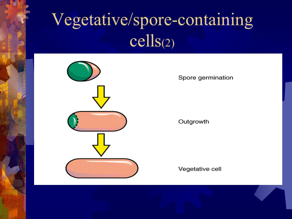 Vegetative/spore-containing cells(2)