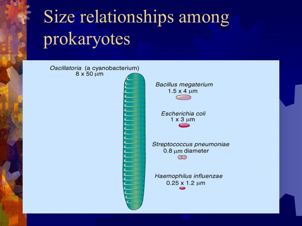 Size relationships among prokaryotes