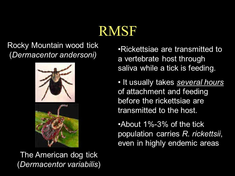 RMSF Rocky Mountain wood tick (Dermacentor andersoni)
