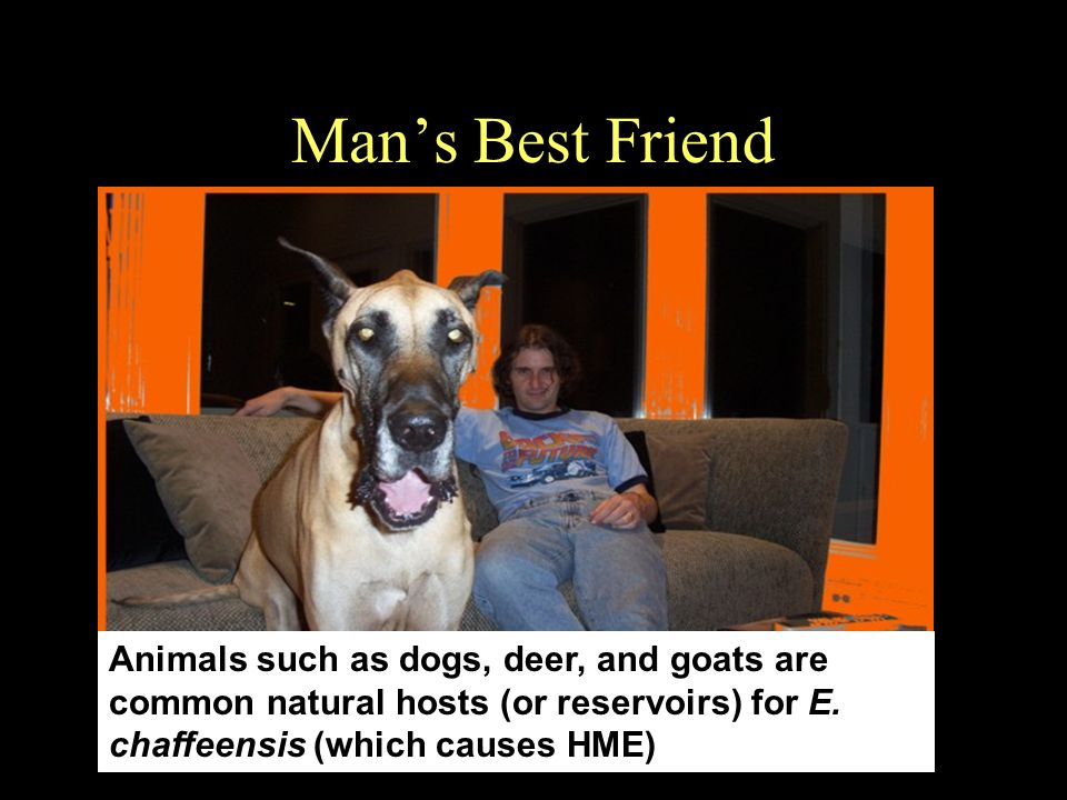 Man's Best Friend Animals such as dogs, deer, and goats are common natural hosts (or reservoirs) for E.