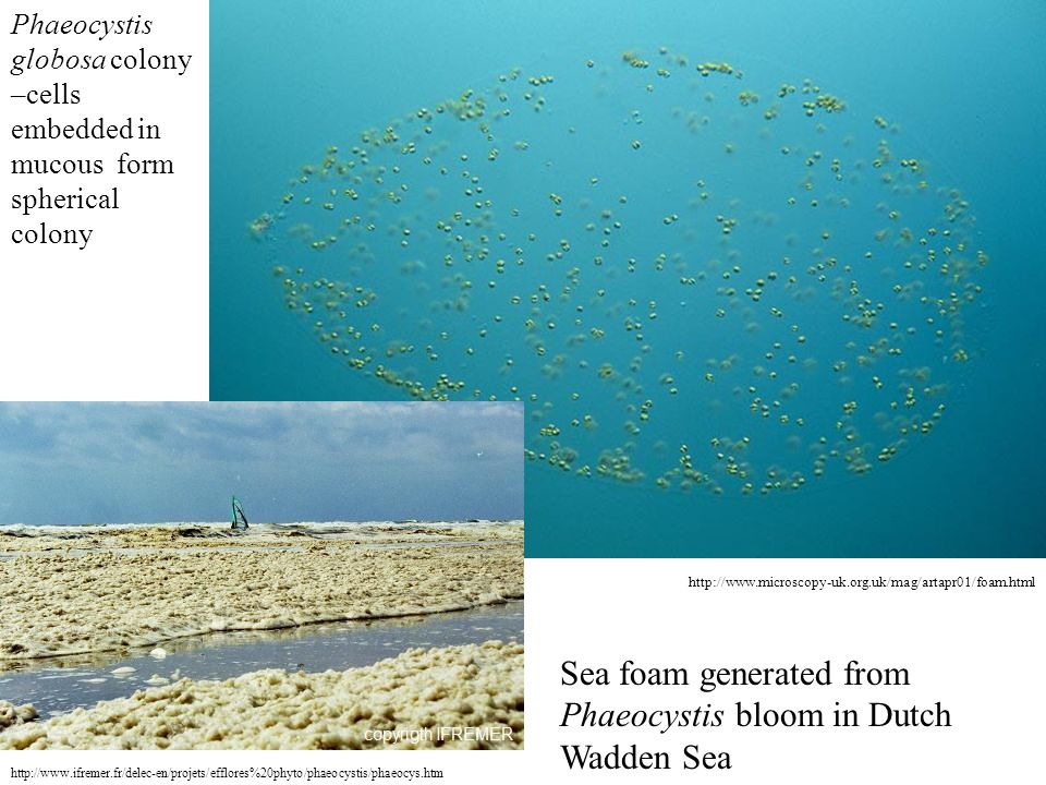 Sea foam generated from Phaeocystis bloom in Dutch Wadden Sea