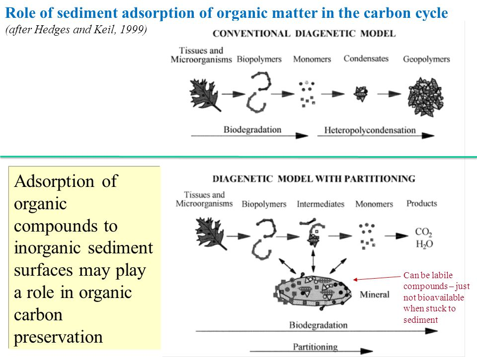 Role of sediment adsorption of organic matter in the carbon cycle (after Hedges and Keil, 1999)