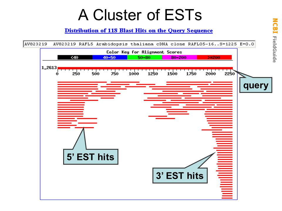 A Cluster of ESTs query 5' EST hits 3' EST hits
