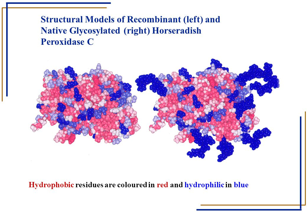 Structural Models of Recombinant (left) and Native Glycosylated (right) Horseradish Peroxidase C