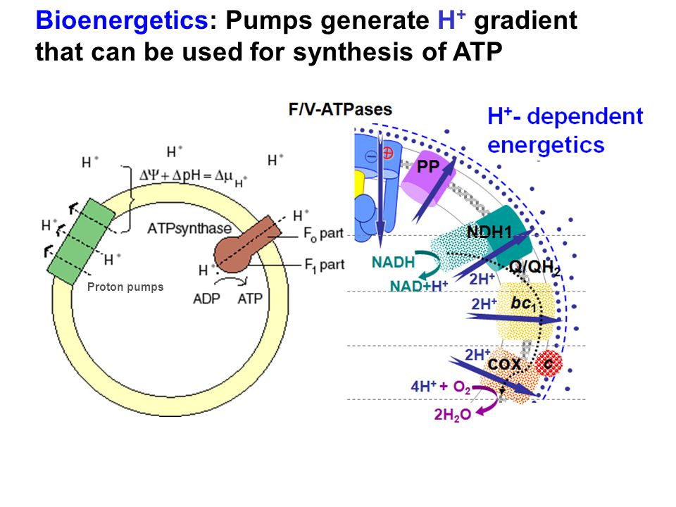 Bioenergetics: Pumps generate H+ gradient that can be used for synthesis of ATP