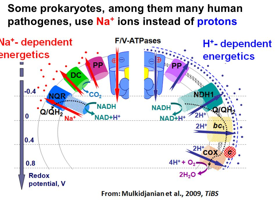 Some prokaryotes, among them many human pathogenes, use Na+ ions instead of protons