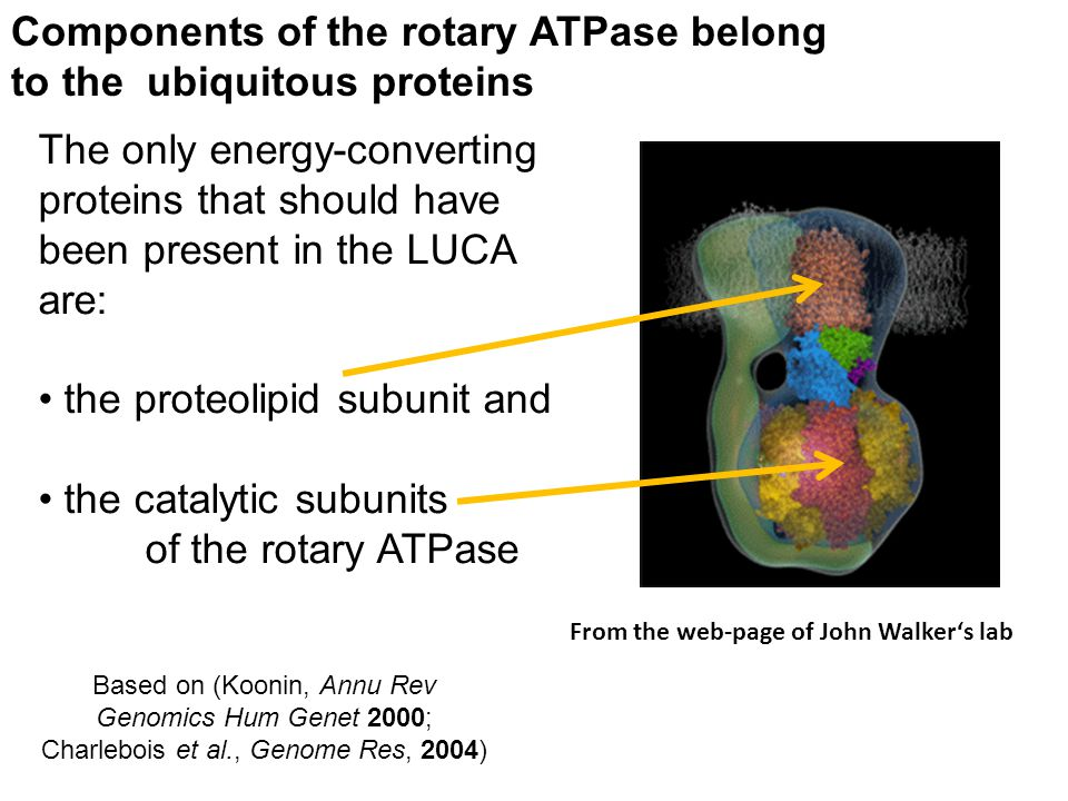 Components of the rotary ATPase belong to the ubiquitous proteins
