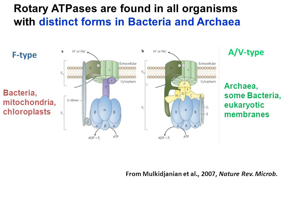 Rotary ATPases are found in all organisms with distinct forms in Bacteria and Archaea