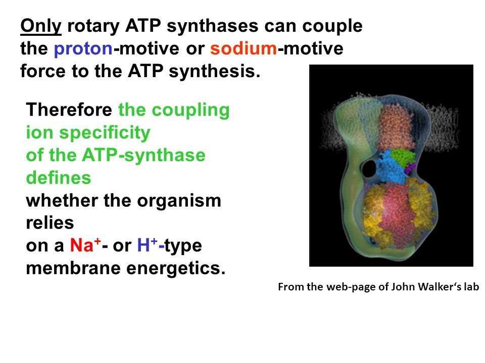 Only rotary ATP synthases can couple the proton-motive or sodium-motive force to the ATP synthesis.