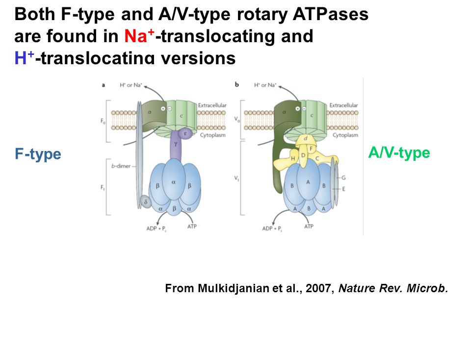 Both F-type and A/V-type rotary ATPases are found in Na+-translocating and H+-translocating versions