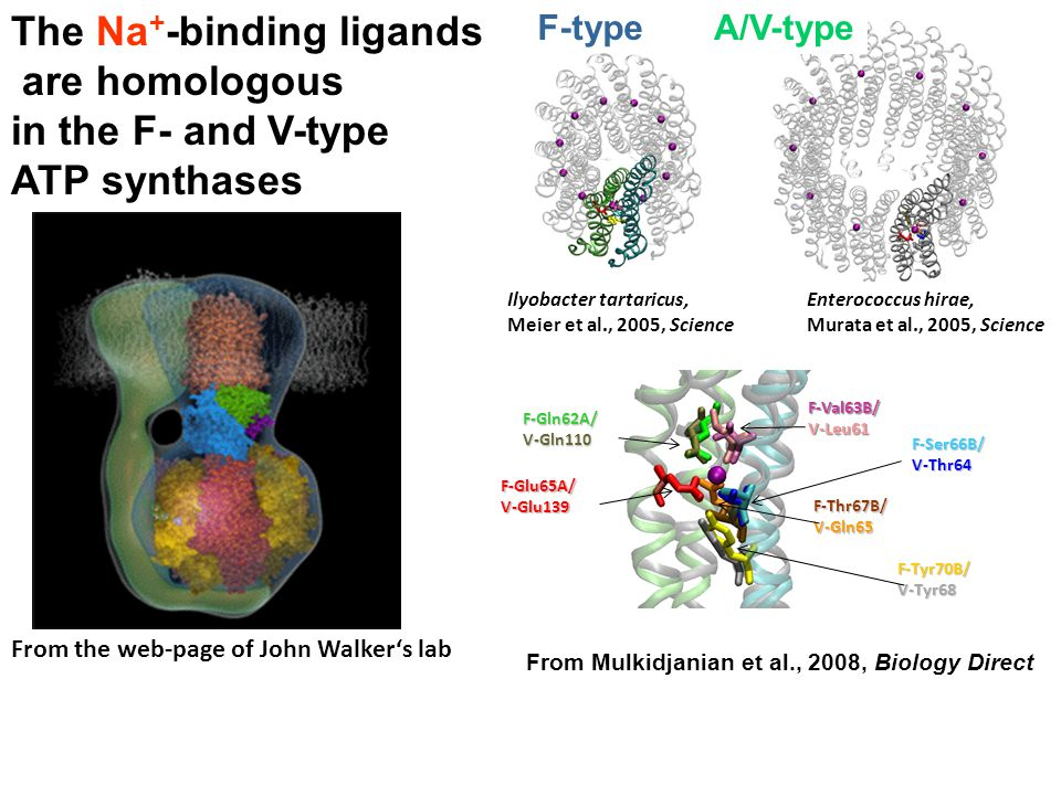 The Na+-binding ligands are homologous in the F- and V-type ATP synthases
