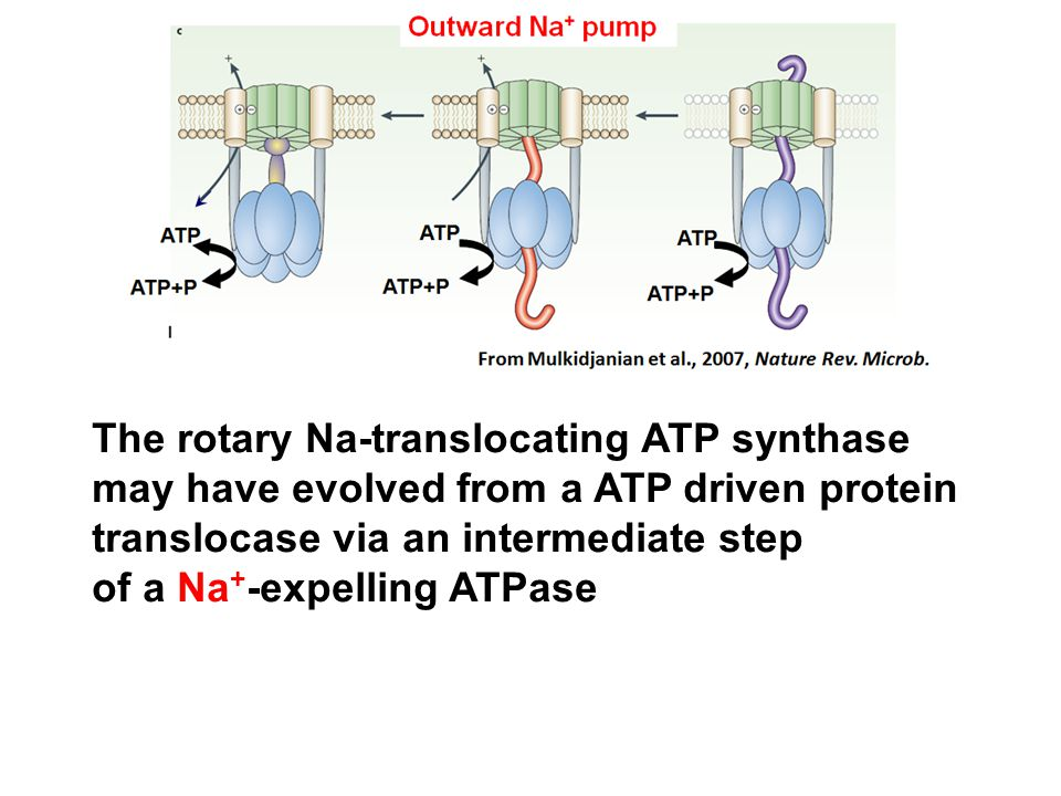 The rotary Na-translocating ATP synthase may have evolved from a ATP driven protein translocase via an intermediate step of a Na+-expelling ATPase