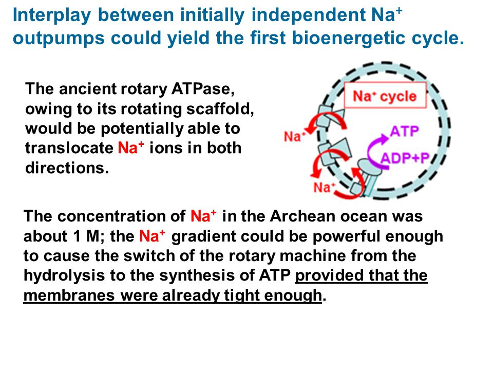 Interplay between initially independent Na+ outpumps could yield the first bioenergetic cycle.
