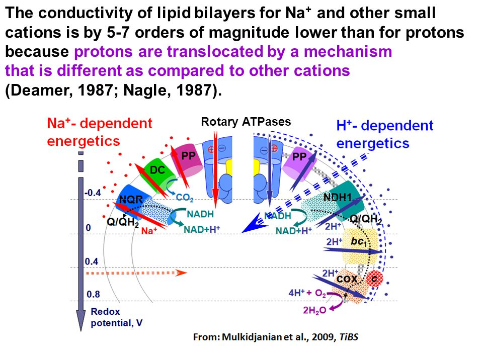 The conductivity of lipid bilayers for Na+ and other small cations is by 5-7 orders of magnitude lower than for protons because protons are translocated by a mechanism that is different as compared to other cations (Deamer, 1987; Nagle, 1987).