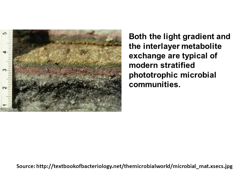 Both the light gradient and the interlayer metabolite exchange are typical of modern stratified phototrophic microbial communities.